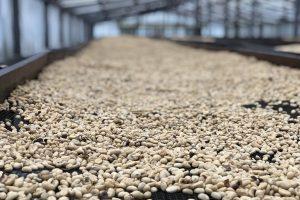 バリ島のコーヒー豆