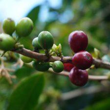 世界一の珈琲豆、パナマのゲイシャ販売はじめました!